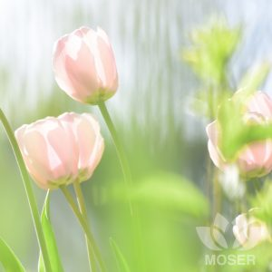 Picture of Pink Tulips by Alexis Moser