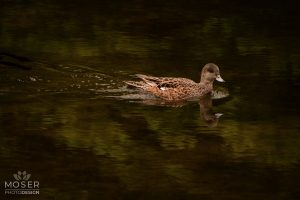 Alexis-Moser-Alexis-Moser-rocky-mountain-wildlife-photography-Duck-On-The-Dark-Water
