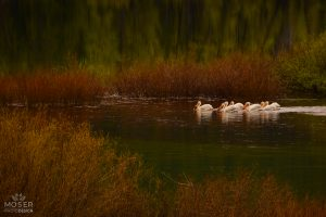 Alexis-Moser-Alexis-Moser-rocky-mountain-wildlife-photography-Pelicans-Fishing