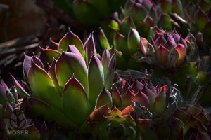Alexis-Moser-Creating-Extraordinary-Shots-in-Ordinary-Spots-Succulent-Chicks