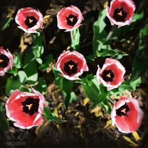 pink tulips from above