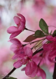 Alexis-Moser-flowers-and-blooms-of-spring-Blossoms-of-pink