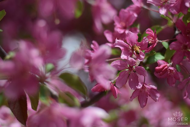Alexis-Moser-flowers-and-blooms-of-spring-Bee-in-Flower