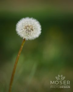 Alexis-Moser-flowers-and-blooms-of-spring-Dandylion-Head-Seeds