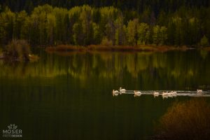 Alexis-Moser-rocky-mountain-wildlife-photography-Pelicans-on-the-Lake