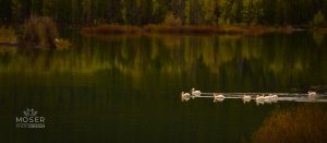 Pelicans on the Lake by Alexis Moser