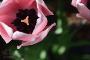 AlexisMoser_Creating-Extraordinary-Shots-in-Ordinary-Spots-Tulips-above-simple