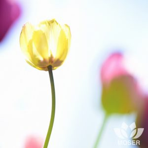 Alexis-Moser-creating-extraordinary-shots-in-ordinary-spots-yellow-Tulip-White-SQUARE