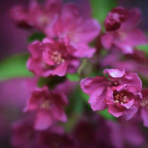 Alexis-Moser-flowers-and-blooms-of-spring-cherry-blossom