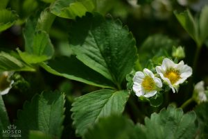 Alexis-Moser-flowers-and-blooms-of-spring-Strawberry-blossoms
