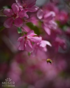 Alexis-Moser-flowers-and-blooms-of-spring-Bee-and-Cherry-Blossoms